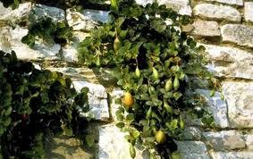 Κάπαρη σε τοίχο